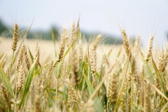 MP0035-agriculture-arable-barley-265216