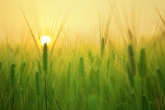 MP0037-agriculture-barley-field-beautiful-207247