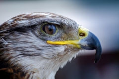 MP0203-animal-close-up-falcon-65272