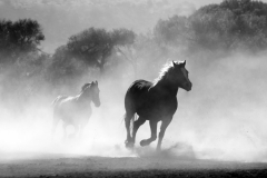 MP0204-animals-black-and-white-equine-52500